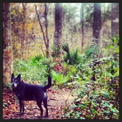 Earlier in January, a very famous local dingo (aka Gambit) was spotted at the Jacksonville Arboretum and Gardens. This is one of Jacksonville's best kept little secrets. With a beautiful lake right smack in the middle of it and tons of beautiful trails all around, and as an added bonus it's totally dog friendly. Absolutely worth checking out. Click the pic for their website.