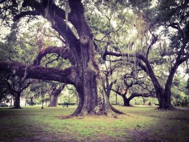 The beautiful oak trees in City Park